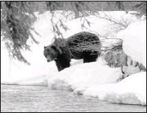 ?? Courtesy, Dan Rafla, Parks Canada ?? Grizzly bears are coming out of hibernation after a long winter's sleep. this bear was photographed Friday in the Castle Junction area.