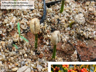 ??  ?? Kaffeepflanze bei der Keimung Copyright: Deutscher Kaffeeverband