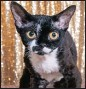 ??  ?? CUTE KITTEN: 2017 SACC Kitten of the Year, a lovely black-and-white Devon Rex female, Taldi Shebangs.