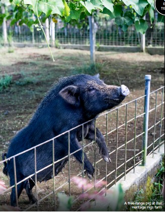 ??  ?? A free-range pig at Bali Heritage Pigs farm