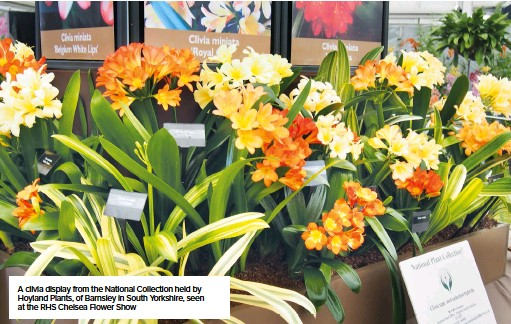 ??  ?? A clivia display from the National Collection held by Hoyland Plants, of Barnsley in South Yorkshire, seen at the RHS Chelsea Flower Show