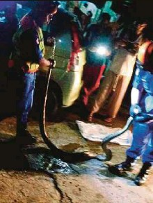 ?? PIC COURTESY OF THE MALAYSIAN CIVIL DEFENCE FORCE ?? Malaysian Civil Defence Force personnel catching the 20kg python in Hulu Selangor on Sunday.