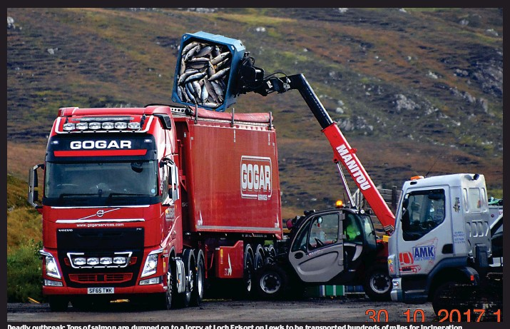??  ?? Deadly outbreak: Tons of salmon are dumped on to a lorry at Loch Erisort on Lewis to be transported hundreds of miles for incineration
