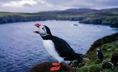 ??  ?? Clownähnliche Papageitaucher locken Vogelbeobachter auf die Insel.