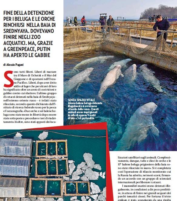 """??  ?? SENZA SPAZIO VITALE Alcune balene beluga detenute illegalmente si avvicinano al bordo della vasca. Questi animali erano imprigionati in celle di appena 9 metri di lato e 3 di profondità. SONO LE ANGUSTE CELLE! QUESTA FOTO SCATTATA DA UN DRONE HA APERTO IL CASO Nakhodka (Russia). Ecco il lager delle balene: 90 beluga e 11 orche, catturati in mare, erano imprigionati nella baia di Srednyaya, in attesa di essere venduti in Cina. Per fortuna Greenpeace e la rete Tv Cbs a novembre hanno scattato questa immagine e denunciato """"la tratta delle balene""""."""