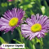 ??  ?? 7. Erigeron 'Dignity'