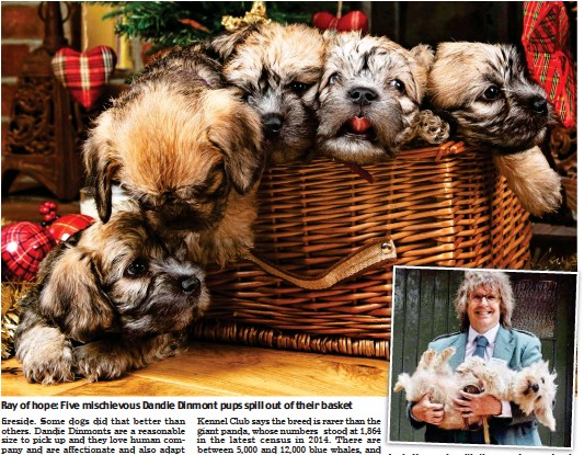 ??  ?? Ray of hope: Five mischievou­s Dandie Dinmont pups spill out of their basket Andy Kennedy with the pups' mum Jessie