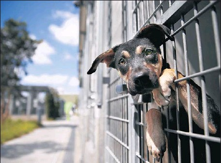 ?? Photographs by Allen J. Schaben Los Angeles Times ?? A SHEPHERD MIX peers out of its cage. City officials say the number of animals killed has fallen by more than half since 2003 to roughly 14,000 in the 2013-14 budget year. More than 1,600 of those animals were killed because shelters ran out of space.