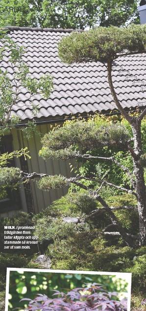 ??  ?? MOLN. I promenadträdgården finns tallar klippta och uppstammade så kronan ser ut som moln.