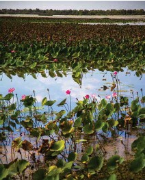 ??  ?? Vast lotus lily–covered lagoons abound across the floodplains of the Top End's great rivers and are a birdwatcher's delight.