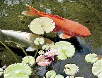 ?? The Maui News / MATTHEW THAYER photo ?? A pair of ornamental koi swim in a reflecting pool at the Grand Wailea Resort last month.