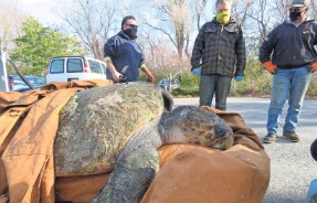 ?? WELLFLEET BAY WILDLIFE SANCTUARY ?? Department of Public Works employees move a 350-pound loggerhead turtle from Great Hollow Beach in Truro, Mass.