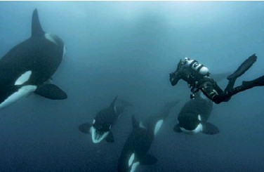 ??  ?? UP CLOSE AND PERSONAL Skerry gets close to an orca society off New Zealand in order to capture them on film because telephotos lenses don't work underwater.