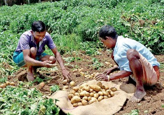 potato cultivation in sri lanka