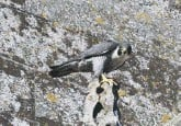 ?? PHOTO BY DAVID SHAW ?? The male peregrine