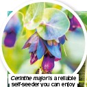 ??  ?? Cerinthe major is a reliable self-seeder you can enjoy for years if you place the seedlings in an open spot