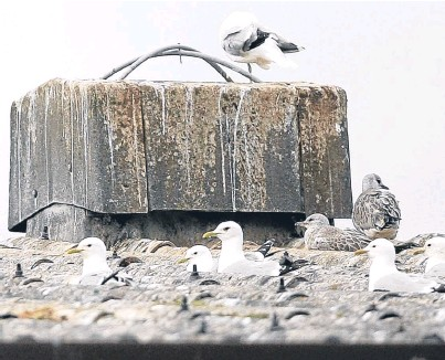 ?? Pictures: Kris Miller. ?? Seagulls nesting on the roofs of units at Inveralmond Industrial Estate.