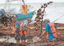 ??  ?? Un grupo de trabajadores estatales retiran el sargazo acumulado que se encuentra en la playa El Recodo, en Cancún.