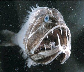 ??  ?? The fangtooth has the largest teeth relative to body size for any fish in the entire ocean.