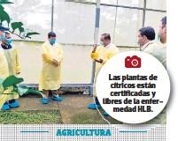 ??  ?? Las plantas de cítricos están certificadas y libres de la enfermedad HLB.