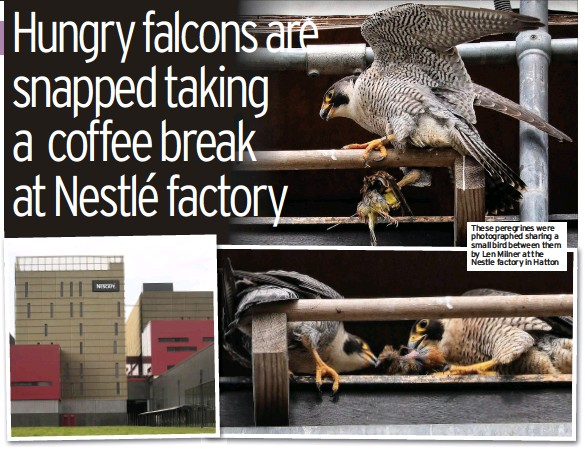 ??  ?? These peregrines were photographed sharing a small bird between them by Len Milner at the Nestle factory in Hatton