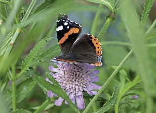 ??  ?? A red admiral butterfly in the Cotswold countryside