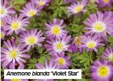 ??  ?? Anemone blanda 'Violet Star'