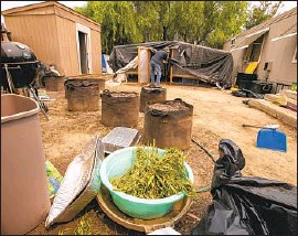 ?? Allen J. Schaben Los Angeles Times ?? A BIN OF MARIJUANA and bags of soil are left behind at the Aguanga, Calif., property where seven people — all Laotian — were shot and killed last month.