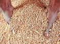 ?? HENK KRUGER African News Agency (ANA) ?? SOUTH Africa's 2020/21 wheat imports were forecast at 1.58 million tons, down 16 percent year-on-year. |