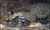 ?? ASSOCIATED PRESS/U.S. FISH AND WILDLIFE SERVICE ?? A photo released by the U. S. Fish and Wildlife Service shows a rare male jaguar west of the proposed Rosemont Mine site in the mountains southeast of Tucson.
