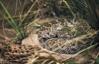 ?? © GETTY IMAGES ?? While mortality is higher with rattlesnake bites than other snakes, statistics show only 1 in 736 people bitten by one will die.