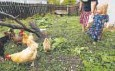?? Charlie Neibergall, The Associated Press ?? Iolana Keith, of Des Moines, Iowa, feeds backyard chickens.