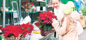Master gardener Robert Pavlis sheds light on that rumour, along with ways to properly cut your Christmas tree and how to get your Christmas cactus to bloom.