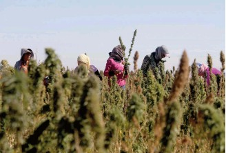 ??  ?? Workers cultivate fields of hashish in Lebanon's Bekaa Valley.