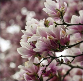 ?? BEN HASTY — READING EAGLE ?? A magnolia in bloom.
