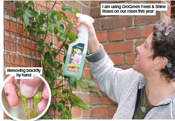 ??  ?? Removing blackfly by hand I am using GroGreen Feed & Shine Roses on our roses this year