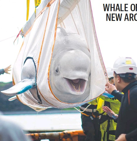 ?? Picture: Aaron Chown/PA Wire. ?? Beluga whale Little Grey is hoisted into its new arctic sanctuary in Iceland.