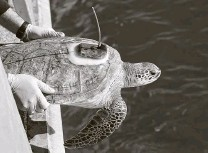 ?? Melissa Phillip / Staff photographer ?? Rob Perkins, a research assistant at Texas A&M Galveston's Gulf Center for Sea Turtle Research, releases a turtle into the water.