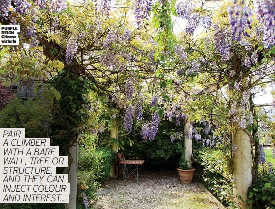 ??  ?? PURPLE REIGN Chinese wisteria