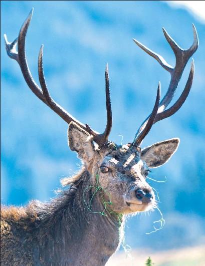 ??  ?? Barbara Macfarlane's photo of the stag entangled in garden netting in Bonawe, near Oban