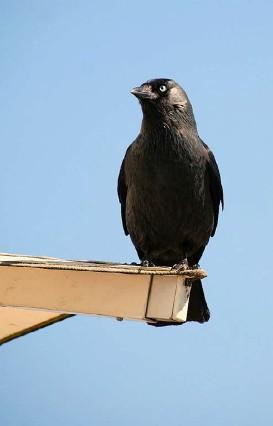 ?? Foto: Livia May ?? Die Dohle gehört zur Familie der Rabenvögel.