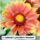 ??  ?? 8. Gaillardia x grandiflora 'Mandarin'