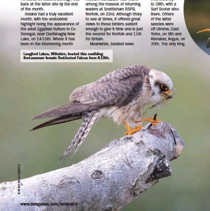 ??  ?? Langford Lakes, Wiltshire, hosted this confiding first-summer female Red-footed Falcon from 8-18th.