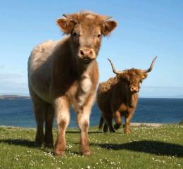 ??  ?? Cattle near Port Ellen