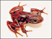 ?? CORTESÍA JUAN CARLOS SÁNCHEZ ?? Esta rana se distingue por sus colores llamativos y por las grandes glándulas ubicadas en su cuerpo.