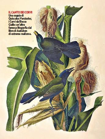 ??  ?? IL CANTO DEI CORVI Una coppia di Quiscalus Versicolor, i Corvi dal Becco Giallo: un'altra famosa litografia dal libro di Audubon di estremo realismo.