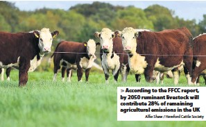 ?? Alfie Shaw / Hereford Cattle Society ?? >