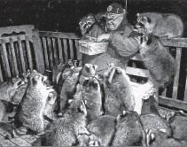 ??  ?? James Blackwood, of Churchville, Nova Scotia, feeding a mob of raccoons.