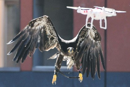 ?? EMMANUEL DUNAND/AFP/GETTY IMAGES ?? Eagles and other birds of prey are so good at destroying flying drones that some have been trained by military and police forces to destroy ones found flying over sensitive or restricted areas.