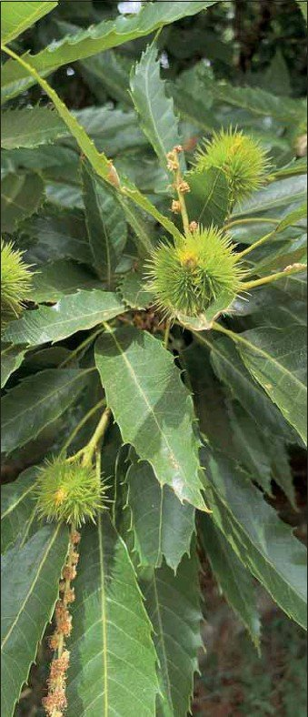 ?? PHOTO: Belinda Harrison ?? CHESTNUTS ROASTING: Although these nuts aren't quite ready, the spiky outsides make for wonderful protection until they are.